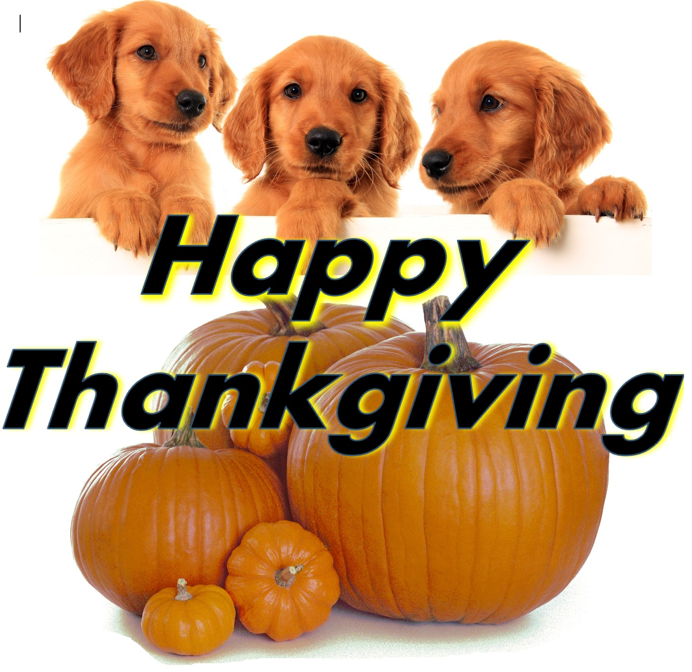 Happty Thanksgiving with for golden retreiver puppies.